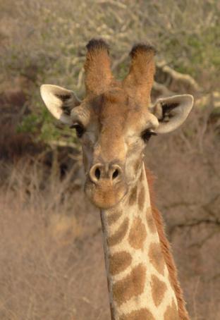 Giraffe_bull