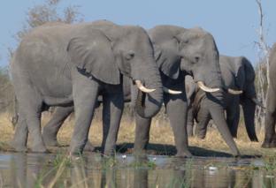 elephants-drinking-khwai